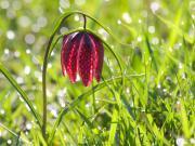 Móricz Péter : Kockás liliom