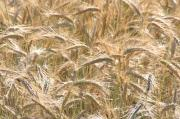 Vincze Kornél: Aranyló mező